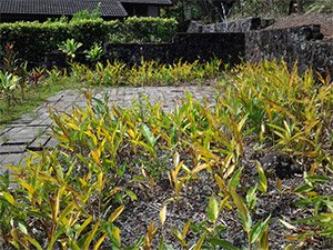 Ginger Weed from Hawaii, killed off by CutnPaste Weed Killer and Gel