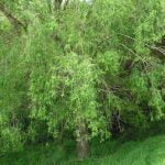 Crack Willow