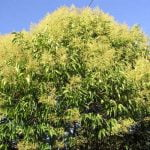 Tree Privet